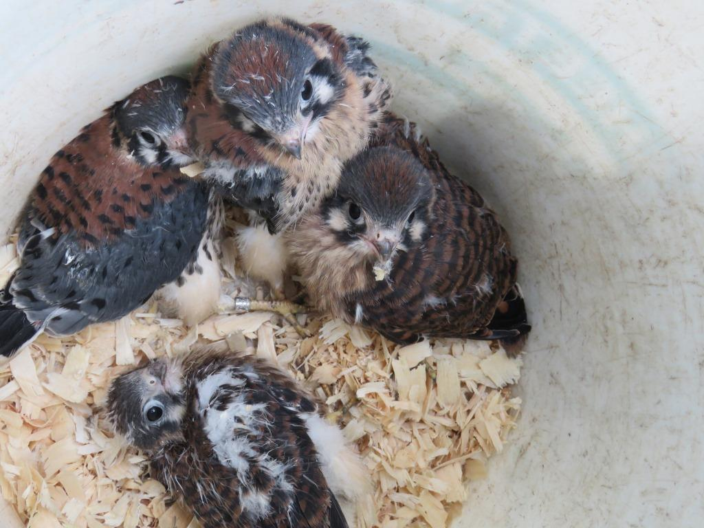 Kestrel Nest Box: 2015 Was A Dramatic Year