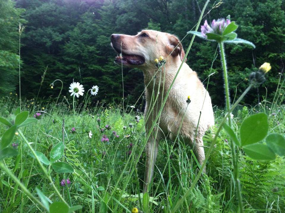 Yellow Dog In Wildflower Meadow