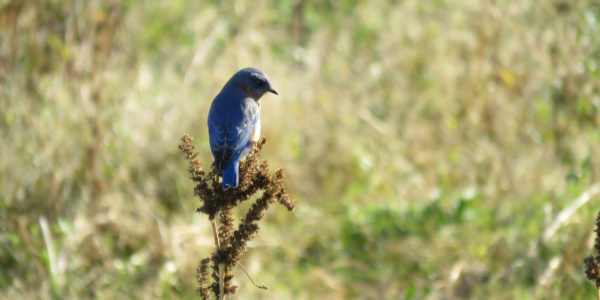 Bluebird Perched In Field