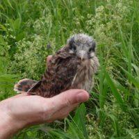 Older kestrel chick sitting in a hand
