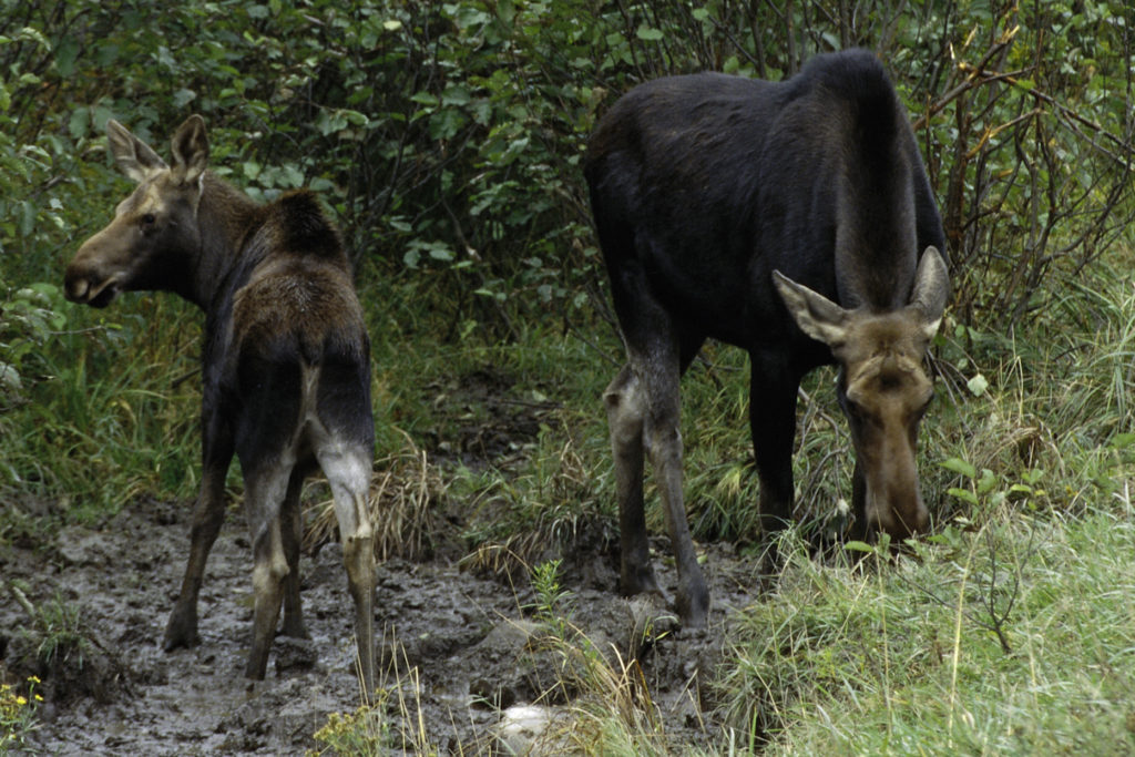 Female moose with feeding with her calf