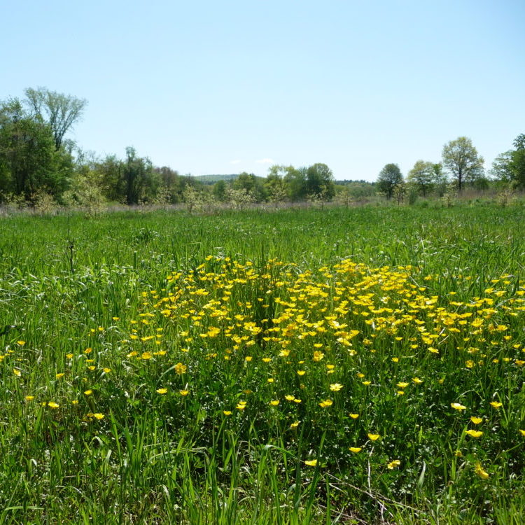 Buttercup Flowers In Green Field Near Fort River