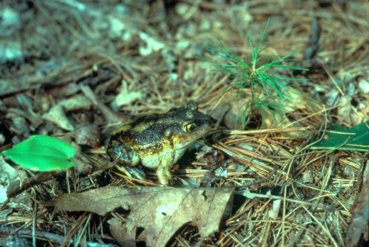The Little Toad That Might