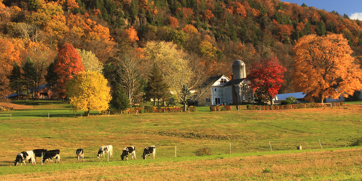 Cows grazing at bottom of autumn hillside on Mt Holyoke