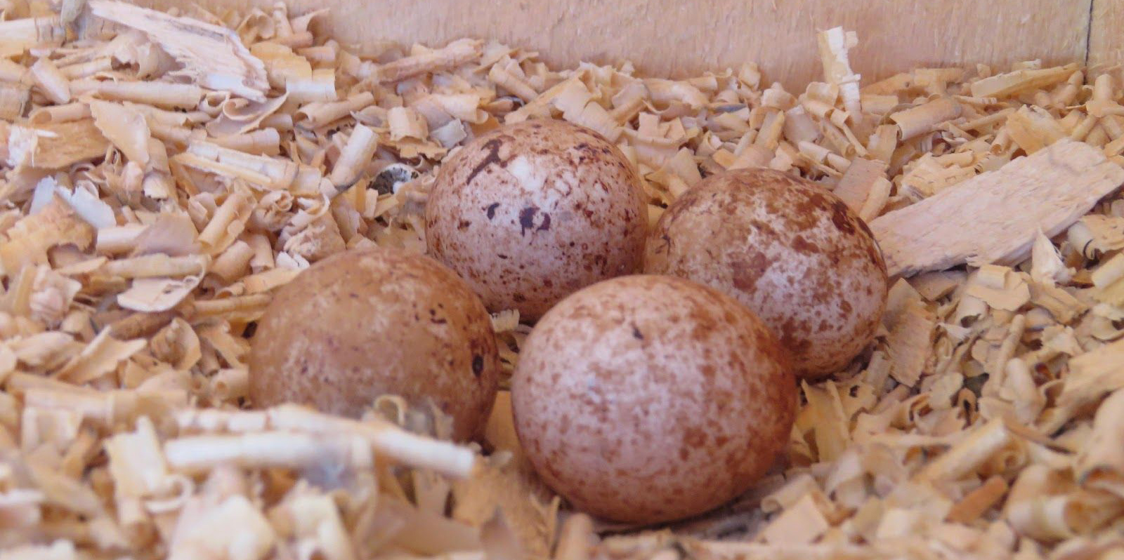 Four brown kestrel eggs in nest box