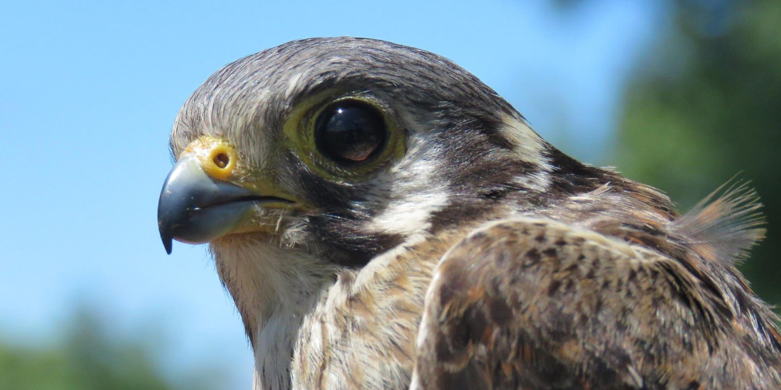 Close up of adult kestrel bird
