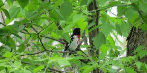 Rose breasted grosbeak bird in tree