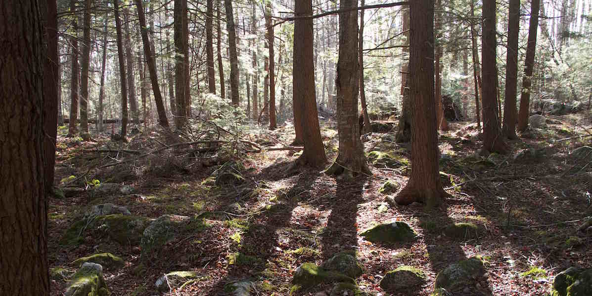 Hemlock forest with sun and shadows