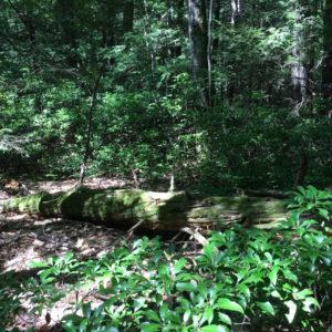 Mt Laurel Around Log