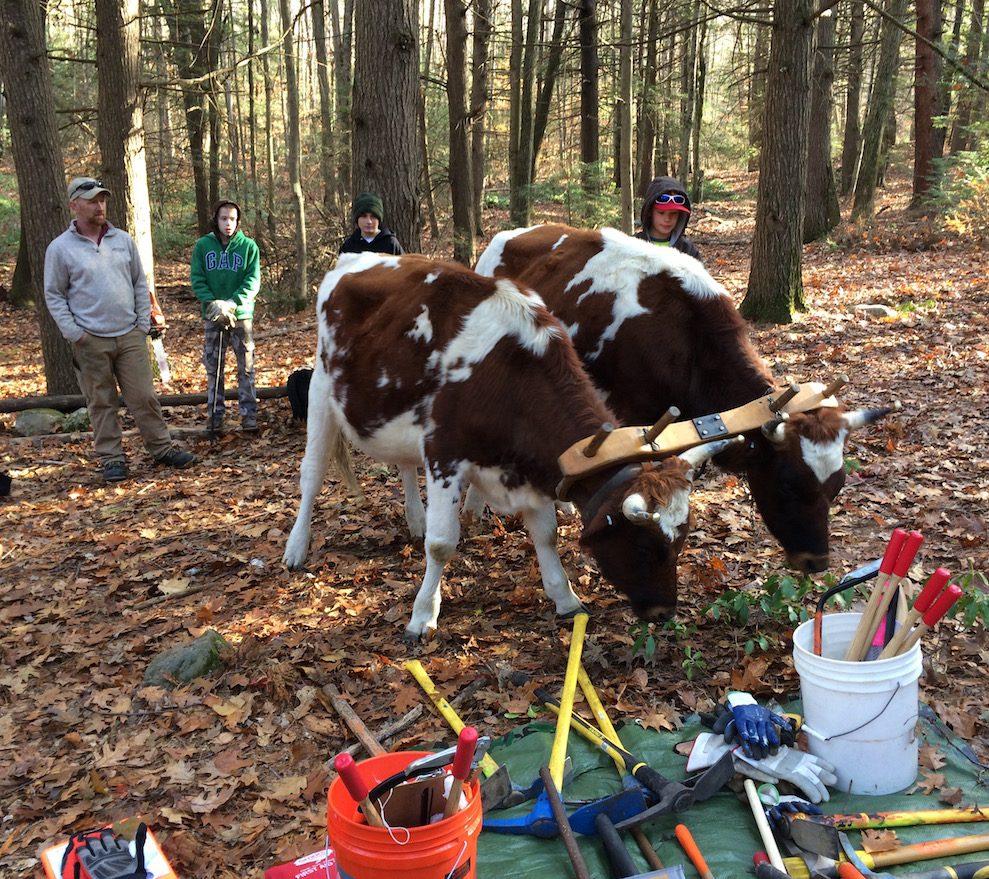 Oxen in woods