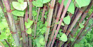 Japanese Knotweed stalks