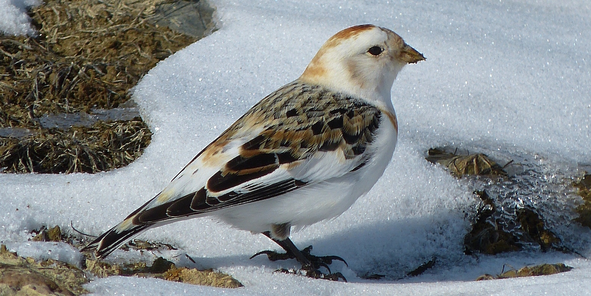 Valley Farmlands Provide Refuge For Tundra Birds In Winter