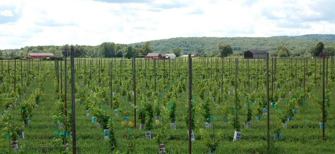 Farmland Protected For Local Vineyard In Hatfield