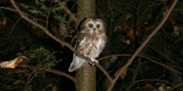 Saw Whet Owl In Tree