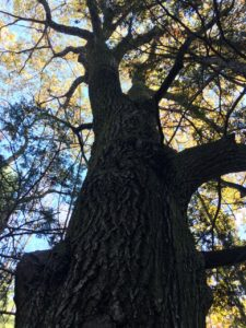 Big old tree in autumn Whately
