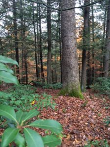 Whately forest