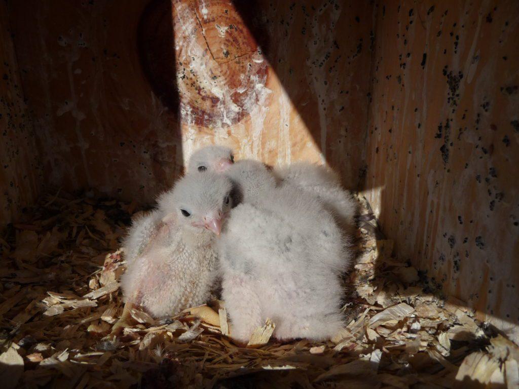 young kestrel chicks