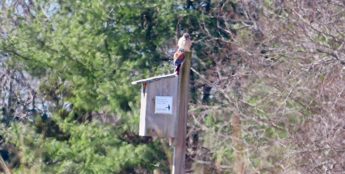 American Kestrels On Nest Box