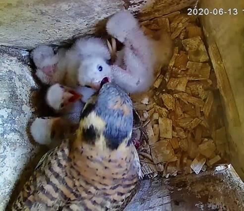 kestrel babies fed by adulte