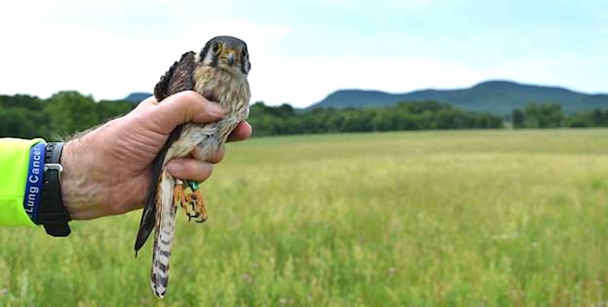 Kestrel Nest Box Project: 2020 Season Report