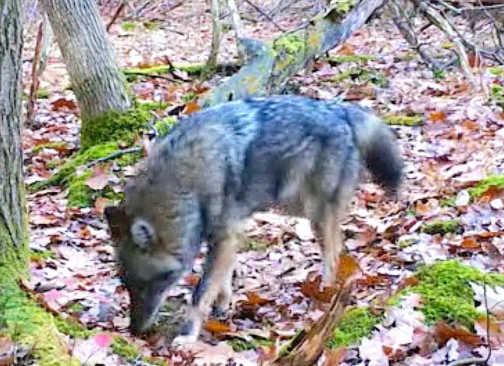 dark coyote